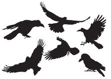 Crow silhouette. Vector illustration collection of crow silhouette in different flight positions Royalty Free Stock Image