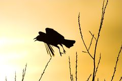 Crow Silhouette. Scared crow flying silhouette Royalty Free Stock Photo