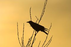 Crow Silhouette. A crow resting on a branch silhouette Royalty Free Stock Image
