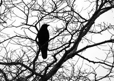 Crow Silhouette. Majestic crow perched on gnarly branches Stock Images
