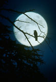 Crow silhouette by moonlight. Silhouette of crow on the tree by moonlight Royalty Free Stock Photos