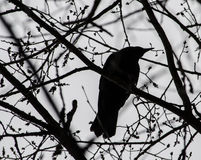 A crow silhouette. A crow rests in a tree Royalty Free Stock Photo