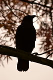 Crow silhouette. Sitting on the tree branch Stock Photo