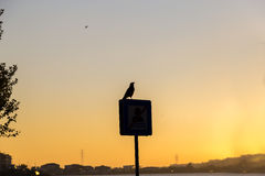 Crow Silhouette. Crow standing on the sign during the sunset reverse light image for design Stock Photo