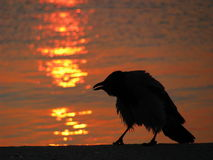 Crow silhouette at sunset. With sea background Royalty Free Stock Images