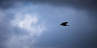 Crow Silhouette On Darkened Sky. Black crow flying silhouetted against dark cloudy sky Stock Photography