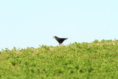 Crow singing on top of the hill Royalty Free Stock Photos
