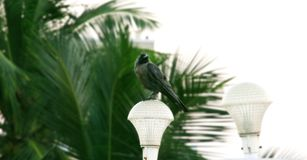 Crow sit on lamp light at white background.  Stock Photo