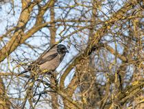 The crow sits on a beautiful picturesque branchy tree without leaves in early spring stock images