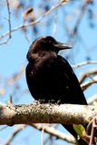 A crow sits on a branch. In a city park Royalty Free Stock Image
