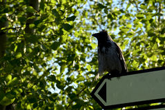 The crow sits on the pointer. The crow sits on the index among the trees stock photography