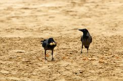 The crow sits on the seashore Royalty Free Stock Photo