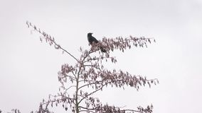 Crow sits on a top of a leafless tree and then flies away. On white background stock video footage