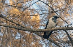 A crow sits on a tree branch in the autumn forest stock image