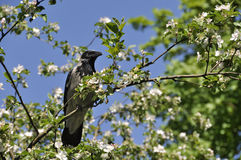Crow sitting on apple tree Stock Photography