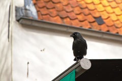 Crow sitting on an awning with white house in the background corvus Stock Image