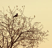 Crow sitting on the bare branches Stock Photography