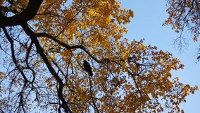 Crow sitting on a branch of an autumn tree royalty free stock photography