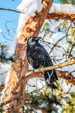 Crow sitting on a branch of a snow covered tree royalty free stock image