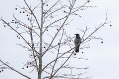 A crow sitting on the branch with tree fruits during grey winter day. stock photos