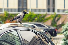 Crow sitting on car rooftop. Birds droppings on car. Outdoor parking. Paint and lacquer damage. Carwash concept.  Royalty Free Stock Photos