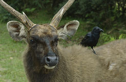 Crow sitting in a deer on his back. Stock Photos