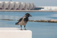 Crow sitting on the fence of the waterfront. Royalty Free Stock Photo