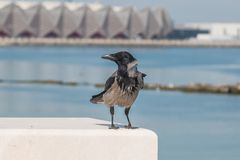 Crow sitting on the fence of the waterfront. Stock Photo