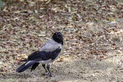 Crow. A crow sitting on a field Royalty Free Stock Image