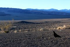 A crow sitting on the ground of death valley, looking at the desert ahead Stock Photo