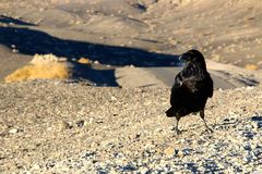 A crow sitting on the ground of death valley, looking at the desert ahead Royalty Free Stock Photos