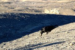 A crow sitting on the ground of death valley, looking at the desert ahead Royalty Free Stock Images