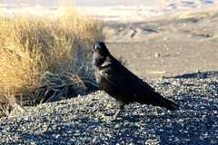 A crow sitting on the ground of death valley, looking at the desert ahead Royalty Free Stock Image