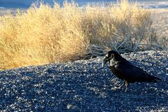 A crow sitting on the ground of death valley, looking at the desert ahead Royalty Free Stock Photography