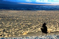 A crow sitting on the ground of death valley, looking at the desert ahead Stock Images
