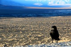 A crow sitting on the ground of death valley, looking at the desert ahead Stock Image