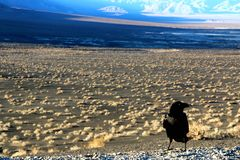 A crow sitting on the ground of death valley, looking at the desert ahead Royalty Free Stock Photo