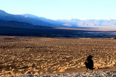 A crow sitting on the ground of death valley, looking at the desert ahead Stock Photos