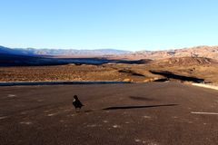 A crow sitting on the ground of death valley, looking at the desert ahead Stock Photography