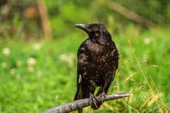 Crow is sitting on a horn of a dead animal royalty free stock image