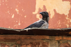 Crow sitting on the old roof Stock Photos