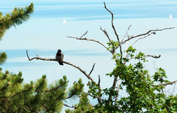 Crow is sitting on the old tree Royalty Free Stock Photos
