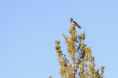 Crow Sitting on the pine Tree Royalty Free Stock Photography
