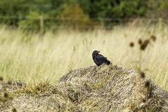 Crow sitting on reeds. Stock Images