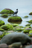 Crow. Sitting on the rock overgrown with seaweed Stock Photos