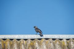 Crow is sitting on the roof of a very old house. royalty free stock images
