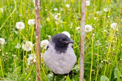 Crow sitting on a rusty fence. Dandelions in the background.-image royalty free stock image