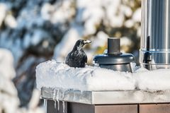 Crow sitting on a snow covered smokestack stock images