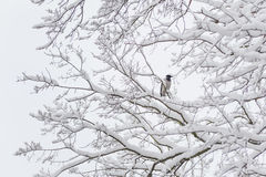 Crow sitting on a snow-covered tree Stock Image