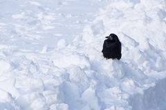 Crow sitting on snowdrift Stock Images